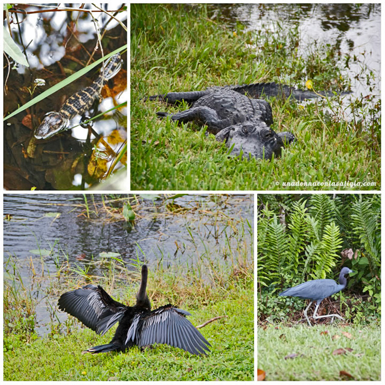 everglades alligatore animali